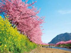 河津桜は一見の価値あり!