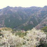 松下亭から見える山桜